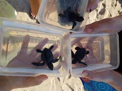 three baby sea turtles