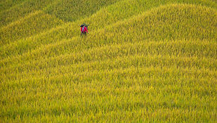 """Amazing Guilin photography tour: golden longji rice terraces longsheng."""
