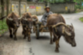 """Amazing Guilin photography tour: farmer with his buffalo on the."" way to the fields yangshuo china"