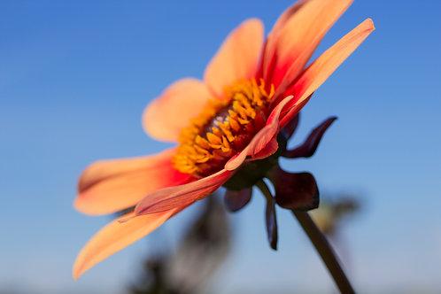 Blume_orange_01