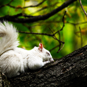 Albie the White Squirrel