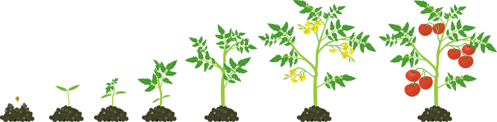 tomato growth stages@4x.png