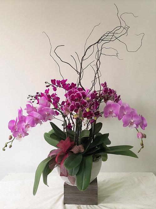 2101003 CNY Phalaenopsis
