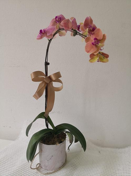 2101001 CNY Phalaenopsis