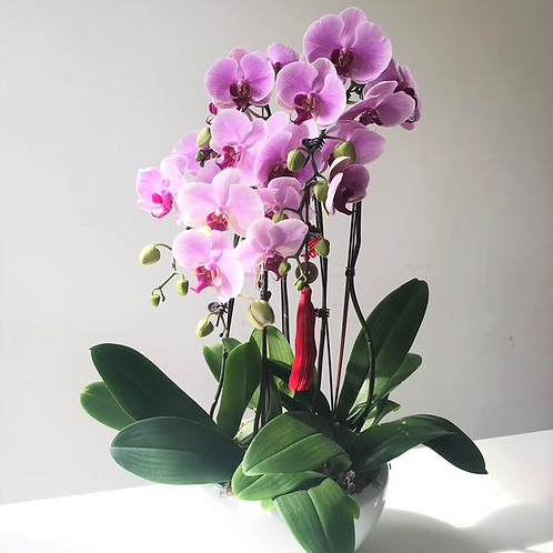 2101002 CNY Phalaenopsis