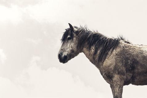 Himalaya Horse.jpg