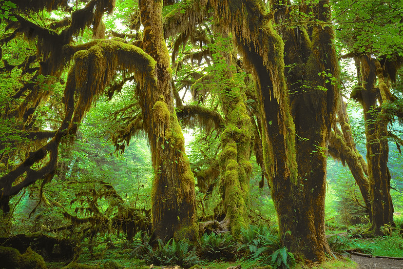 Adam Crews Imagery, Adam Crews, Adam Crews Photography, Olympic National Park, Washington State, USA, Hoh Rainforest, Trees
