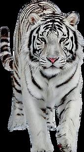 Weißer tiger läuft frei.png