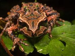 New Zealand Frogs - Endangered Species
