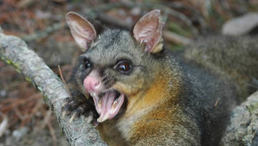 Common Brushtail Possum - A Pest in New Zealand