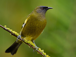 Bellbird - New Zealand Famous Korimako