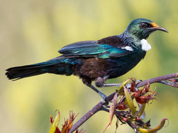 Tui Birds: Facts and Culture