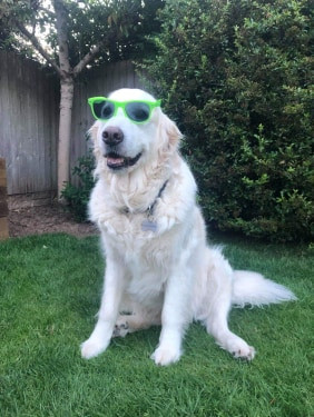 Kingsbury Lawn Care / lawn treatment service / this image is of a golden retriever named Billy wearing green sunglasses
