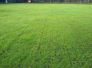Kingsbury Lawn Care | Lawn Overseeding | This image is of newly germinating grass growing in lines following scarification and aeration