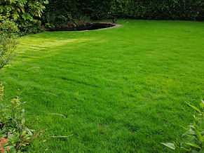 Kingsbury Lawn Care | lawn treatment service / this image is of a newly establishing lawn which is improving in grass density. It is weed free and a lovely colour and thickness already.