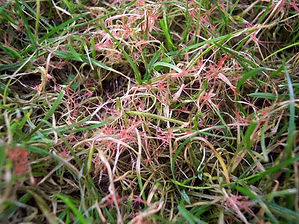 Kingsbury Lawn Care / lawn treatment service / this image shows an area of lawn suffering from red thread disease