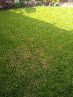 Kingsbury Lawn Care | Red Thread Disease | This image is of an area of grass suffering from Red Thread Lawn Disease. It is showing as blotchy red / pink patches on the lawn