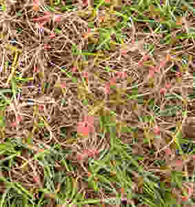 Red thread in a lawn