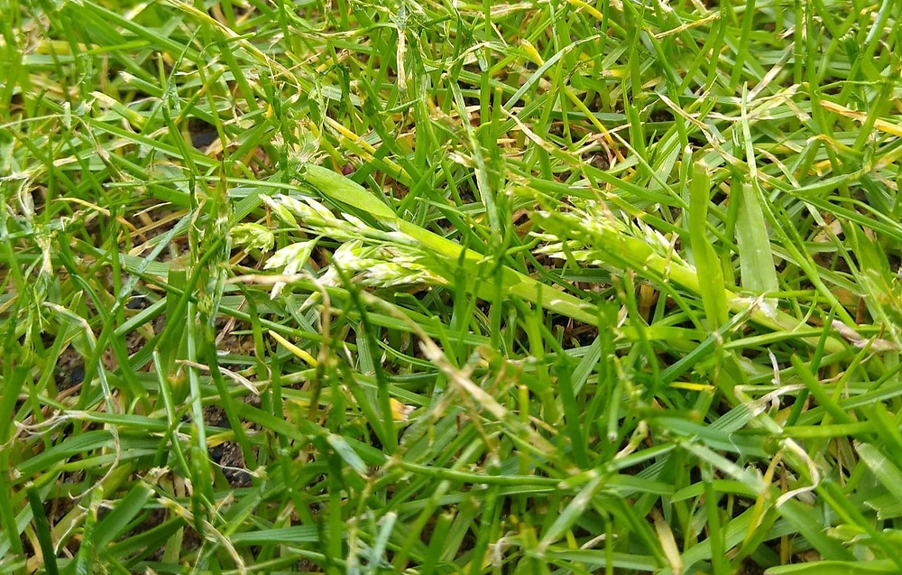 Kingsbury Lawn Care | Lawn Treatment Service | Weed Grasses