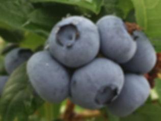 Blueberry 2018 3_edited_edited.jpg