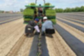Pastore Ochards Tomato Planting