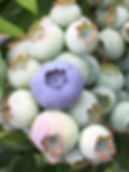 Pastore Orchards Blueberry Bushes