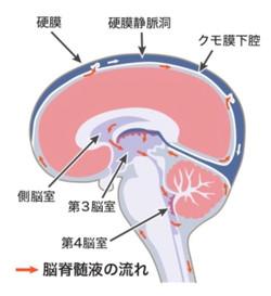 脳硬膜と脳脊髄液の循環