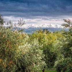 Heavy crop of olives _Looplineolives..jp