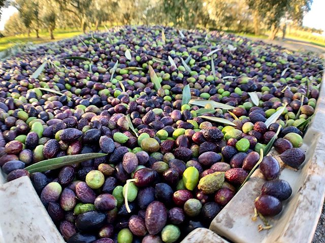 Harvest day at Loopline Olives