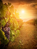 Nature background with Vineyard in autum