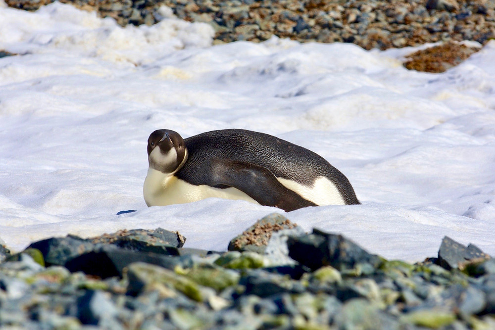 A young emperor penguin resting on its belly sleepily lifts its ahead toward the camera
