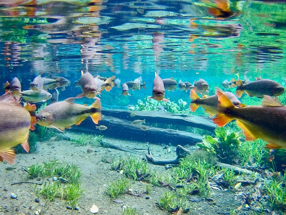 A school of brycon fish swim near the surface, displaying their bright orange tails and distinct black streak across their sides