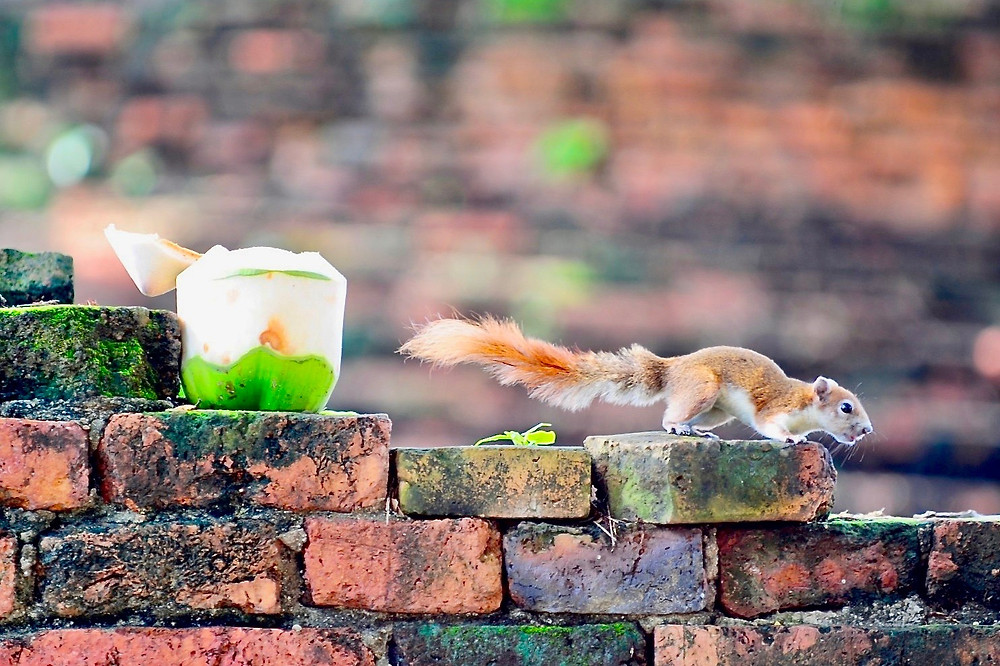 A red squirrel stands on an ancient brick wall beside an open coconut left behind by travelers to Ayutthaya, Thailand
