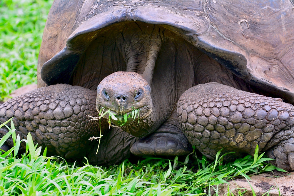 A giant tortoise looks up at the camera as it munches on some grass
