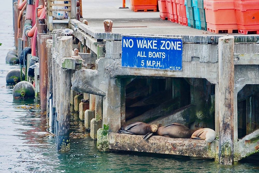 """Three sea lions sleep under a dock with a sign saying """"No Wake Zone, All Boats 5 M.P.H."""" in Monterey Bay"""