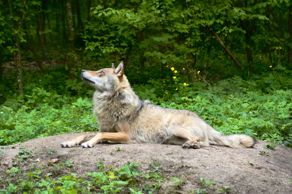 A wolf looks up as it rests on a bare patch of earth amidst the greenery in the Bialowieza Forest, Poland