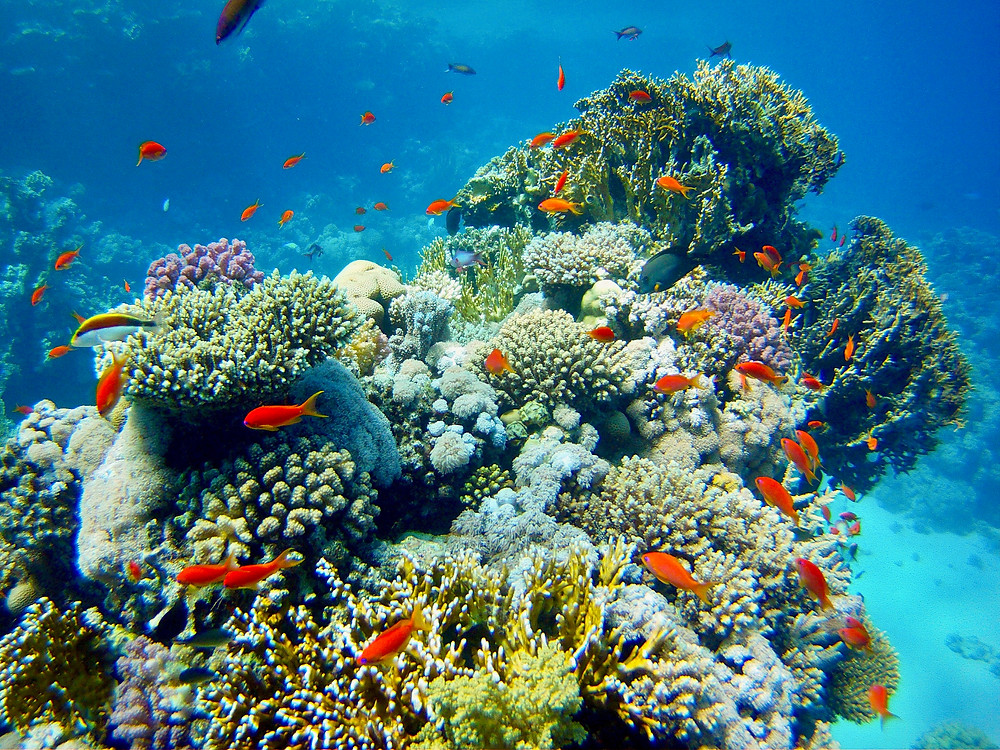 A coral reef surrounded by its bright orange inhabitants in Sharm El Sheikh, Egypt's Red Sea