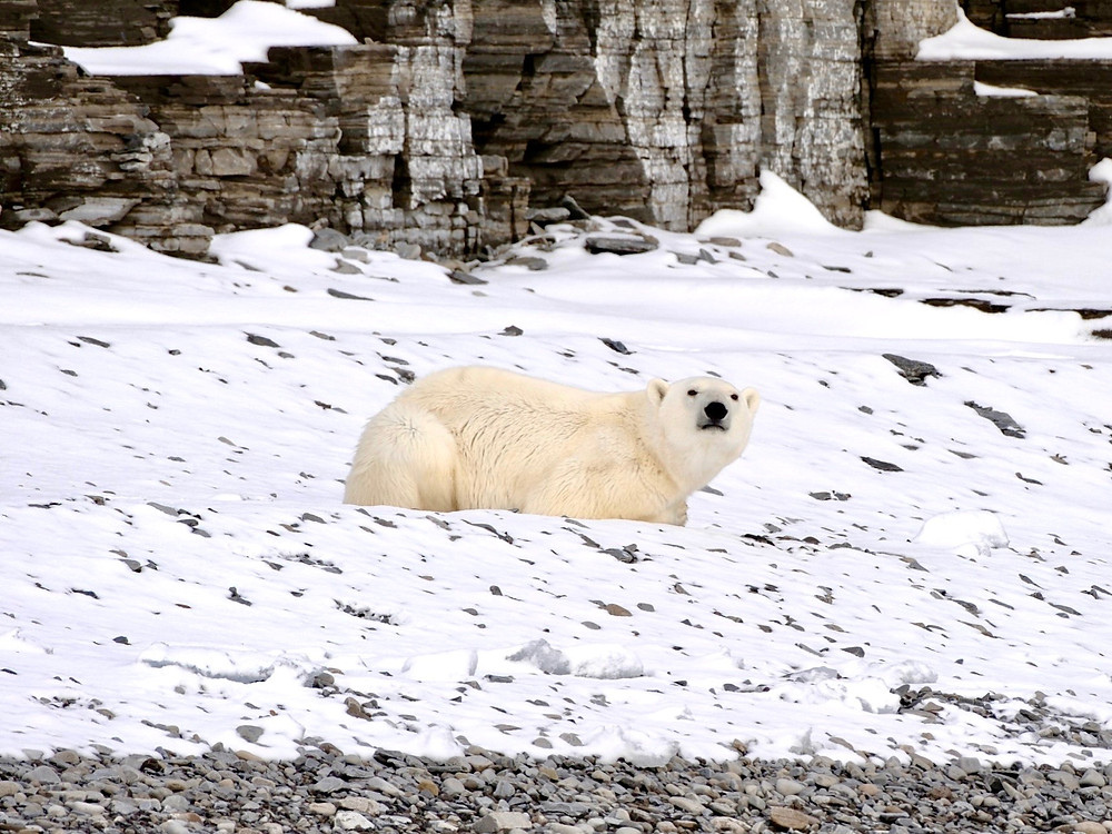 A polar bear sitting in the snow at the base of a cliff in the Arctic Prince Leopold Island, Canada