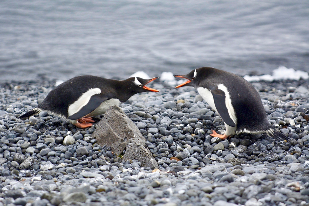Two gentoo penguins facing each other with their beaks open on the rocky shores of South Georgia