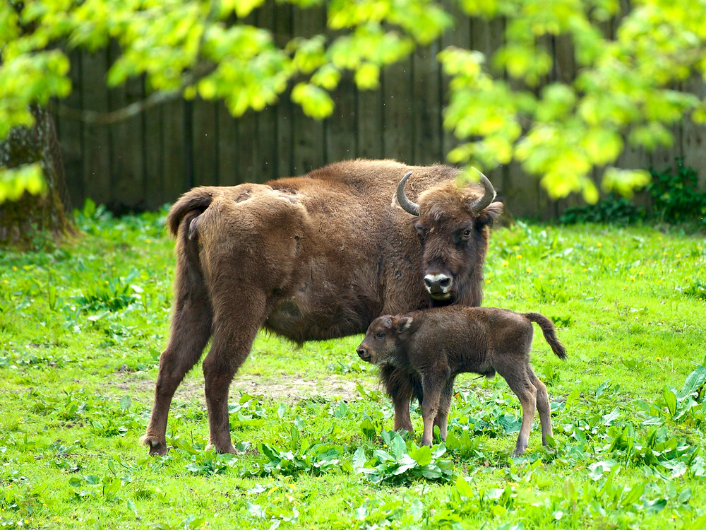 A bison mother and small calf stand by each other in front of a wooden fence in a sanctuary in the Bialowieza Forest