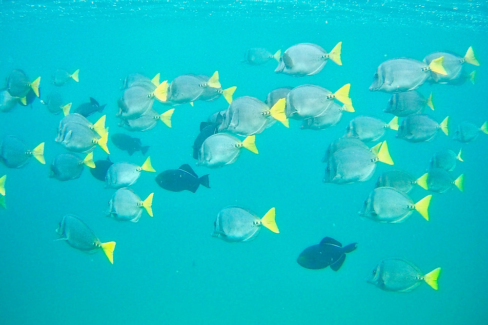 A school of yellow-tailed surgeonfish displaying their brightly colored tails