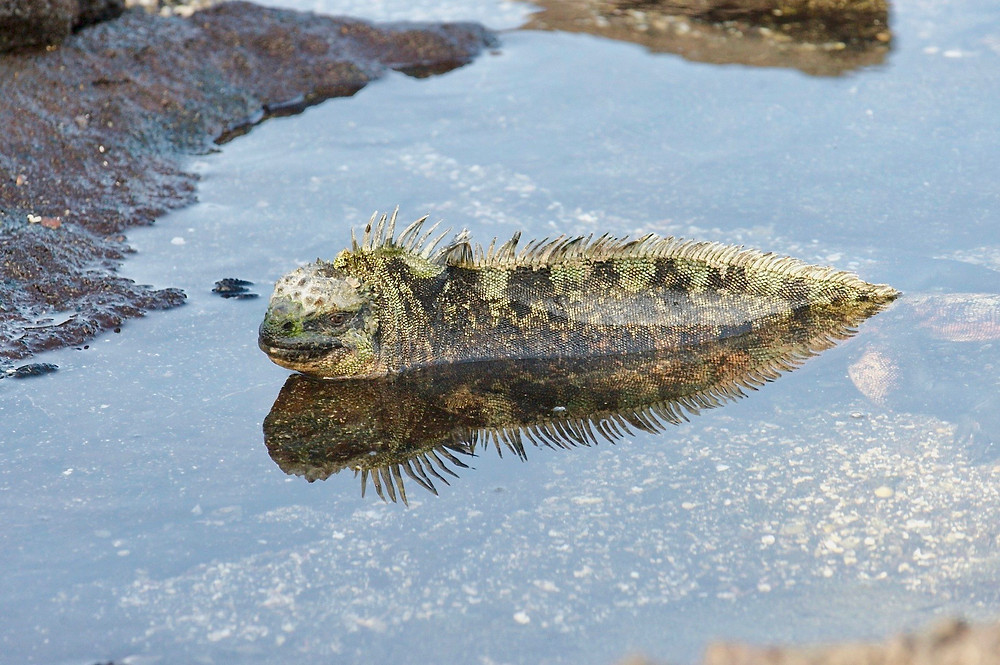 A marine iguana as it comes out of the icy water to bask in the sun