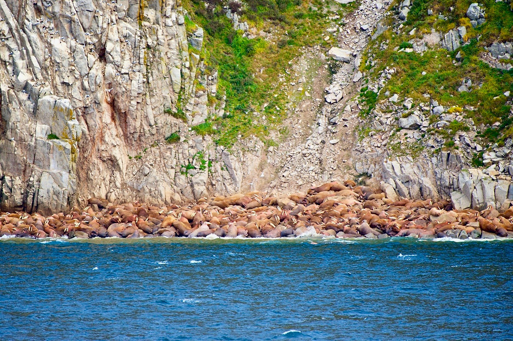 A big mass of walruses sit at the base of a cliff right by the ocean shore