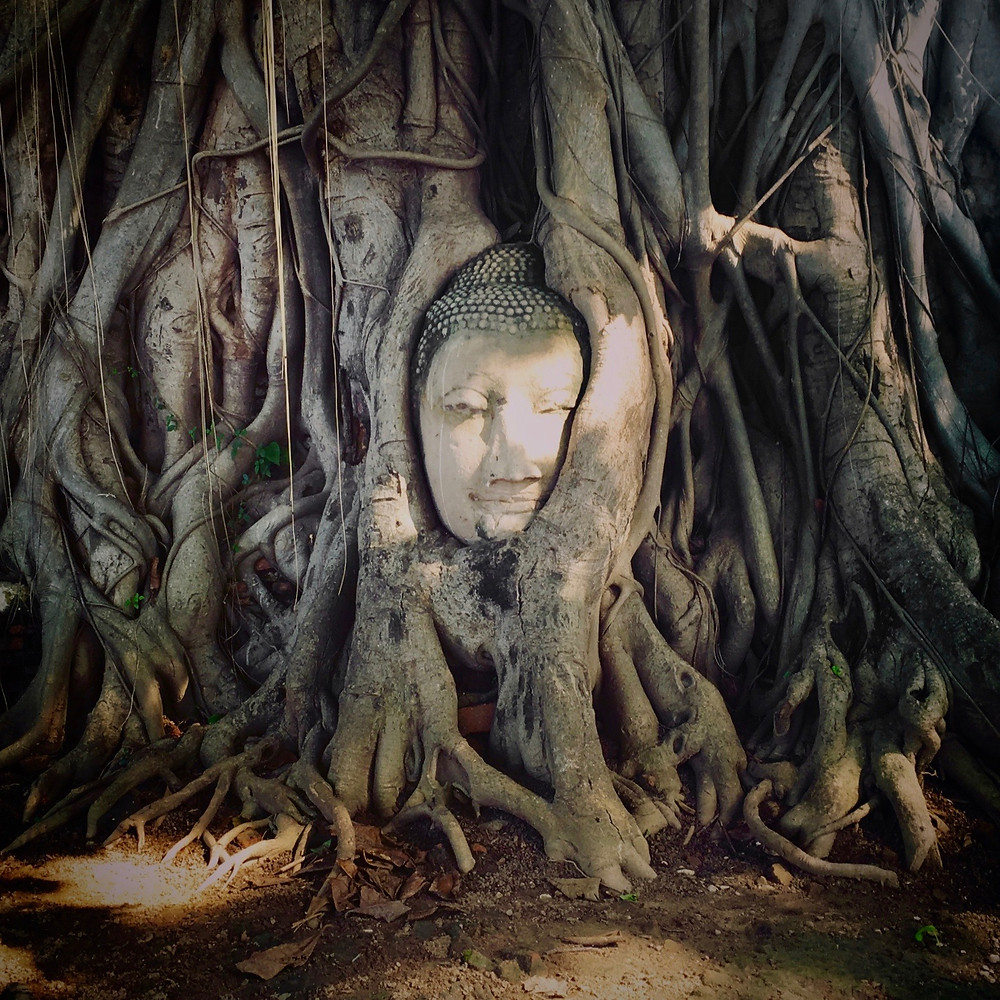The Buddha Head in Tree Roots of Wat Mahathat where the roots of a banyan tree are wrapped around a Buddha's head