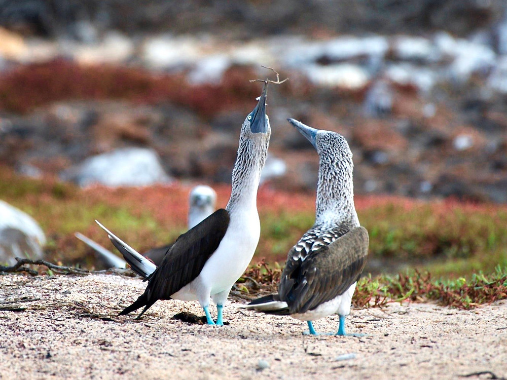 A blue footed booby proudly presenting another with a small twig