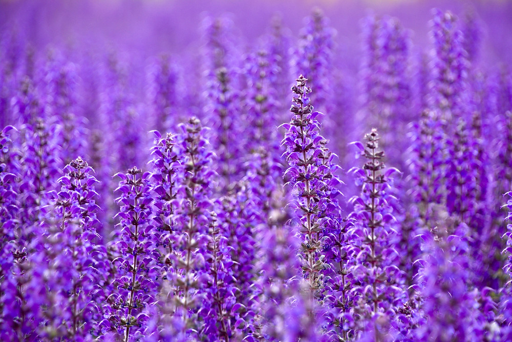 A closeup at the purple flower fields in front of the Hungarian Parliament Building in Budapest