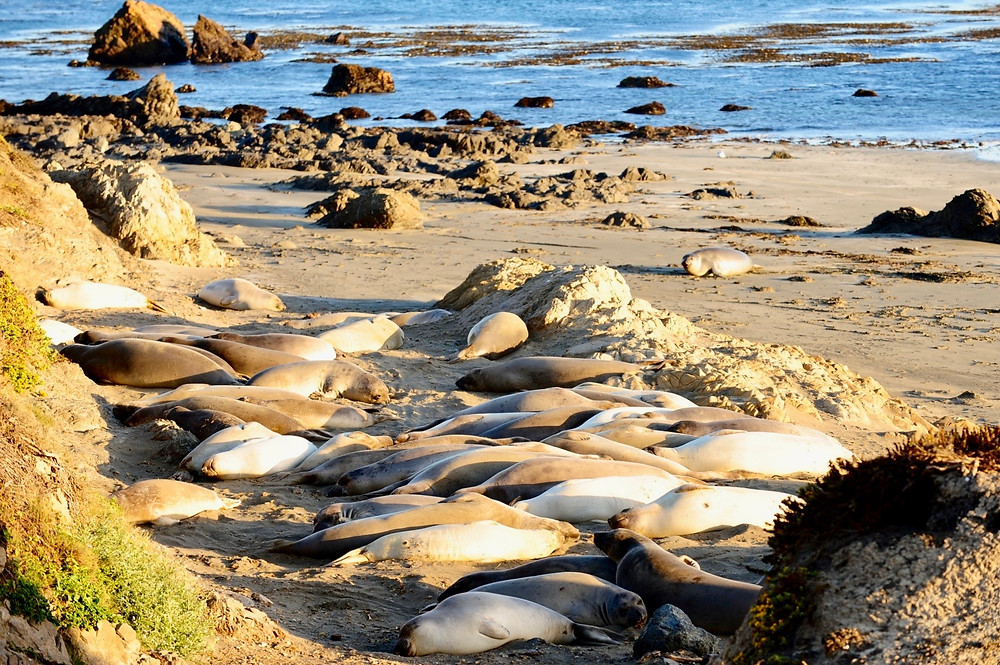 A group of elephant seals lying on a beach near the water by the Californian Pacific Coast Highway