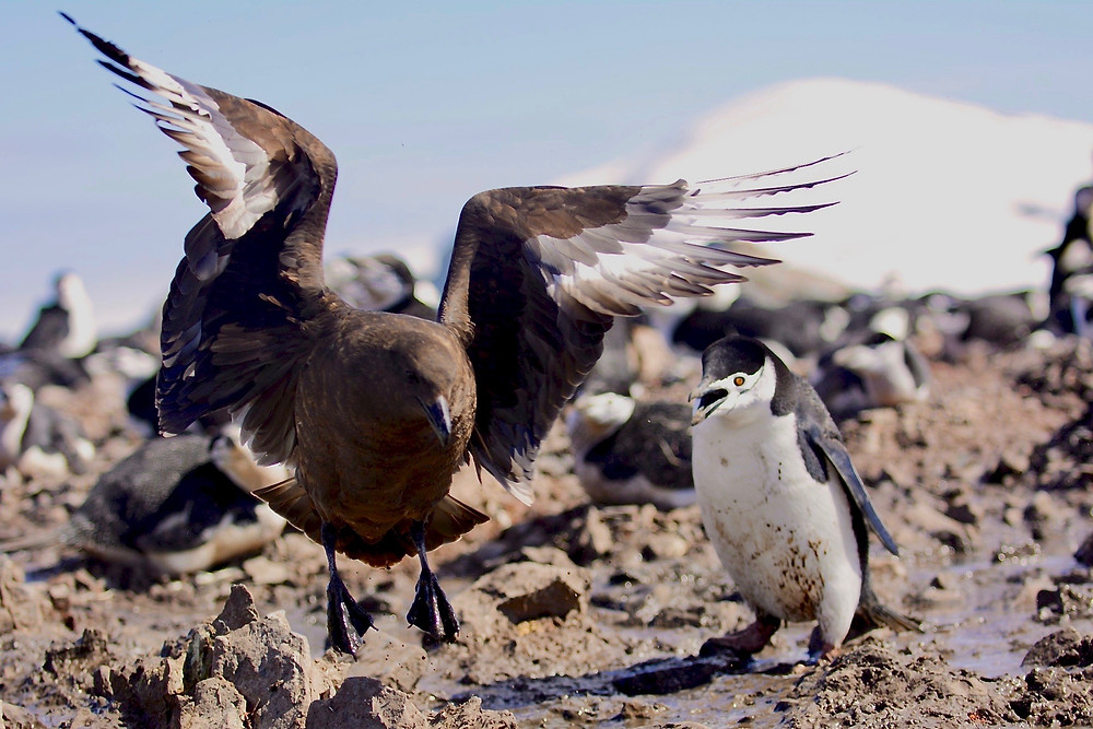 A south polar skua swoops down in an attempt to snatch an egg, while a chinstrap penguins fights back