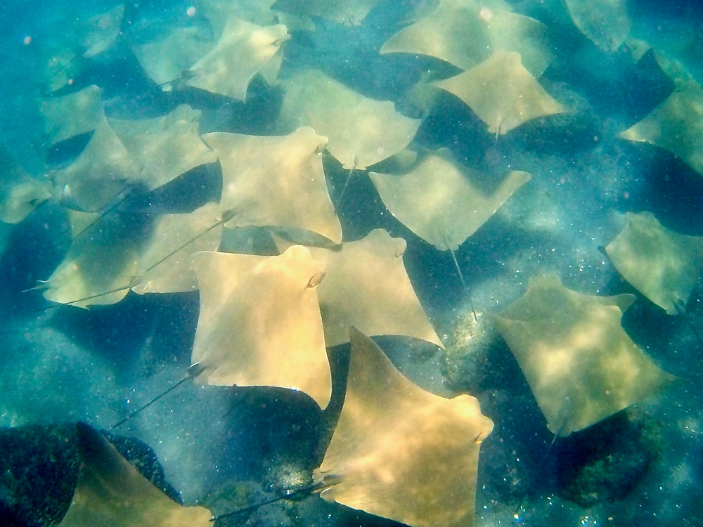 A fever of golden cownose rays swimming beneath us