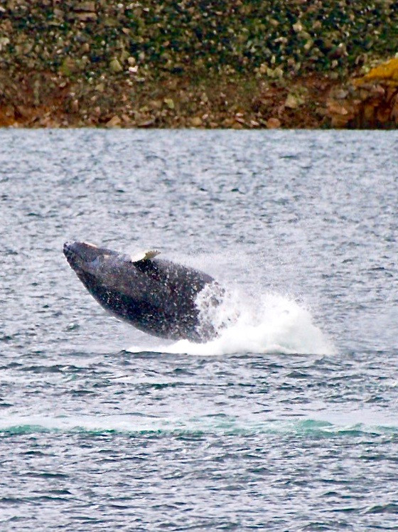 A humpback whale breaching above the Arctic waters